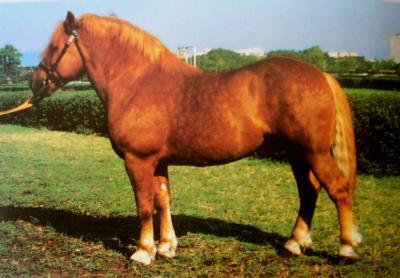 Muraközi  ló